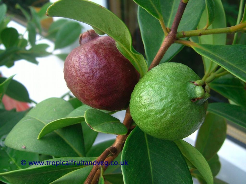 tropicalfruitandveg.com | About Strawberry Guava